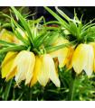 Korunkovka kráľovská Lutea - Fritillaria Imperialis Lutea Maxima - cibule korunkovky - cibuľky - 1 ks