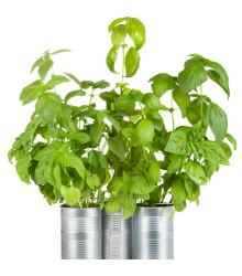 BIO Bazalka zelená - Ocimum basilicum - bio semiačka - 200 ks