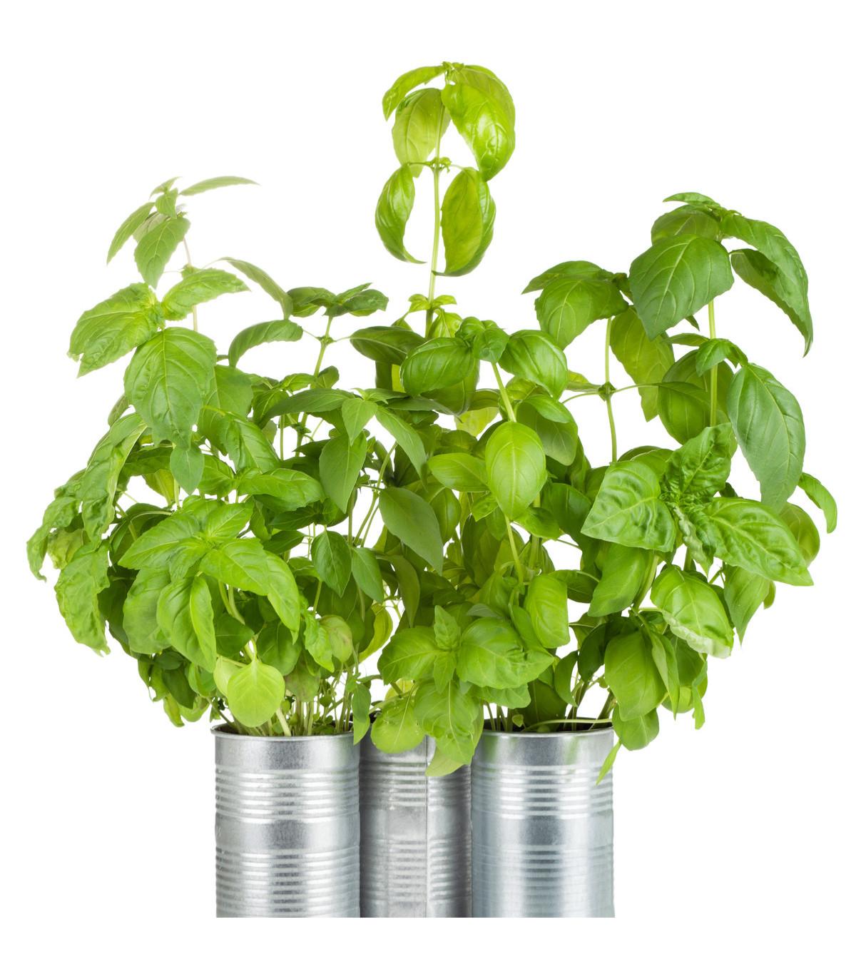 BIO Bazalka zelená - BIO- semená BIO bazalky - 4 g