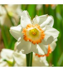 Narcis Pink Charm - Narcissus L. - cibuľoviny - 3 ks