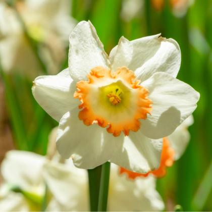 Narcis Pink Charm - Narcisy cibuľoviny - 3 ks