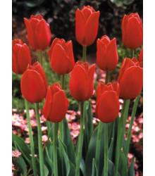 Tulipán Blood Red - Cibule tulipánov - Jesenné cibuľoviny - 3 ks