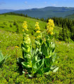 Horec žltý - Gentiana lutea - semená - 8 ks