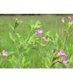 Vŕbovka malokvetá - Epilobium parviflorum - Predaj semien - 0,05 g