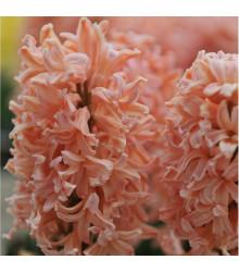 Hyacint Gipsy Queen - Hyacinthus L. - cibuľoviny - 1 ks