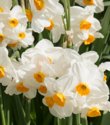 Narcis Geranium - Narcissus L. - cibuľoviny - 3 ks