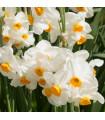 Narcis poetický voňajúci - Geranium - narcisy cibuľoviny - 3 ks