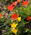 Zmes nízkych tulipánov - Tulipa - cibuľoviny - 24 ks