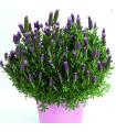 Levanduľa francúzska - Lavita Pink - Lavandula stoechas - semená Levandule - 0,02 g