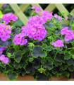 Muškát krúžkovaný Nekita F1Pink - Pelargonium Zonale - semená - 4 Ks