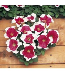 Petúnia mnohokvetá Red Frost F1 - Petunia multiflora - semená - 20 ks