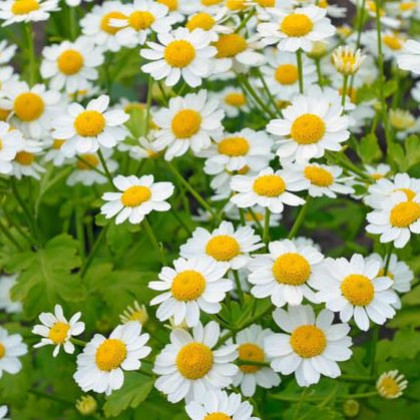 Rimbaba obyčajná Golden Feverfew - Chrysanthemum parthenium - predaj semien - 0,2 gr