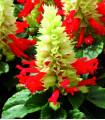 Šalvia žiarivá Red and White - Salvia splendens - semená - 20 ks