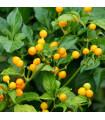 Chilli Aji Charapita - Capsicum Chinense - semená - 7 ks