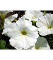 Petúnia biela nízka Snowball - Petunia nana compacta - Semená - 20 ks