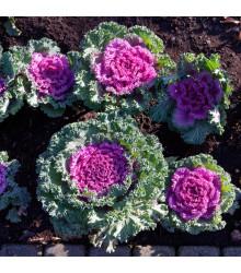 Okrasná kapusta Nagoya F1 - Brassica Oleracea - semená - 20 ks