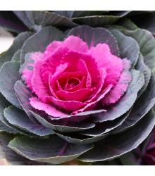 Okrasná kapusta Sunset F1 - Brassica Oleracea - semená - 20 ks