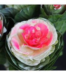Okrasná kapusta Crane F1 Bicolor - Brassica Oleracea - semená - 20 ks