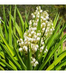 Juka - Yucca Rupicola - semená - 5 ks