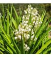 Juka- Yucca Rupicola-semená- 5 ks