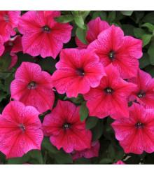 Petúnia Rose of Heavens ružová - Petunia nana compacta - semená - 20 ks