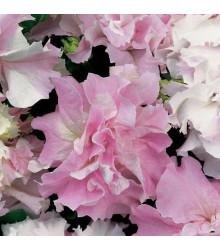 Petúnia Pirouette F1 - Orchid Mist - Petunia grandiflora - semená - 20 ks