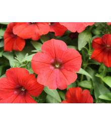 Petúnia Scarlet červená - Petunia nana compacta - semená - 20 ks