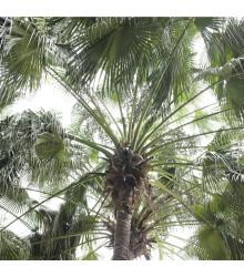 More about Palma čínska - Livistona Chinensis - semená palmy - semiačka - 3 ks