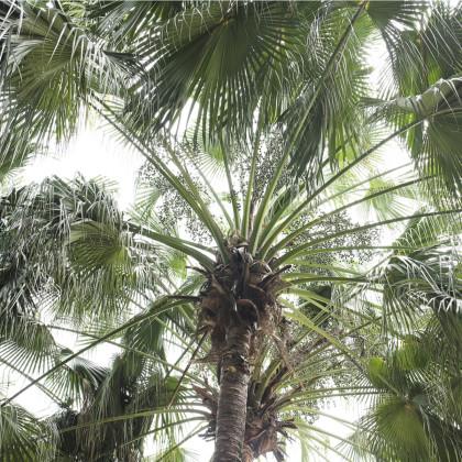 Palma čínska - Livistona Chinensis - semená palmy - semiačka - 3 ks