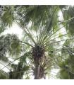Palma čínska- semená- 3 ks