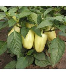 Paprika Amy - Capsicum annuum - 120 ks