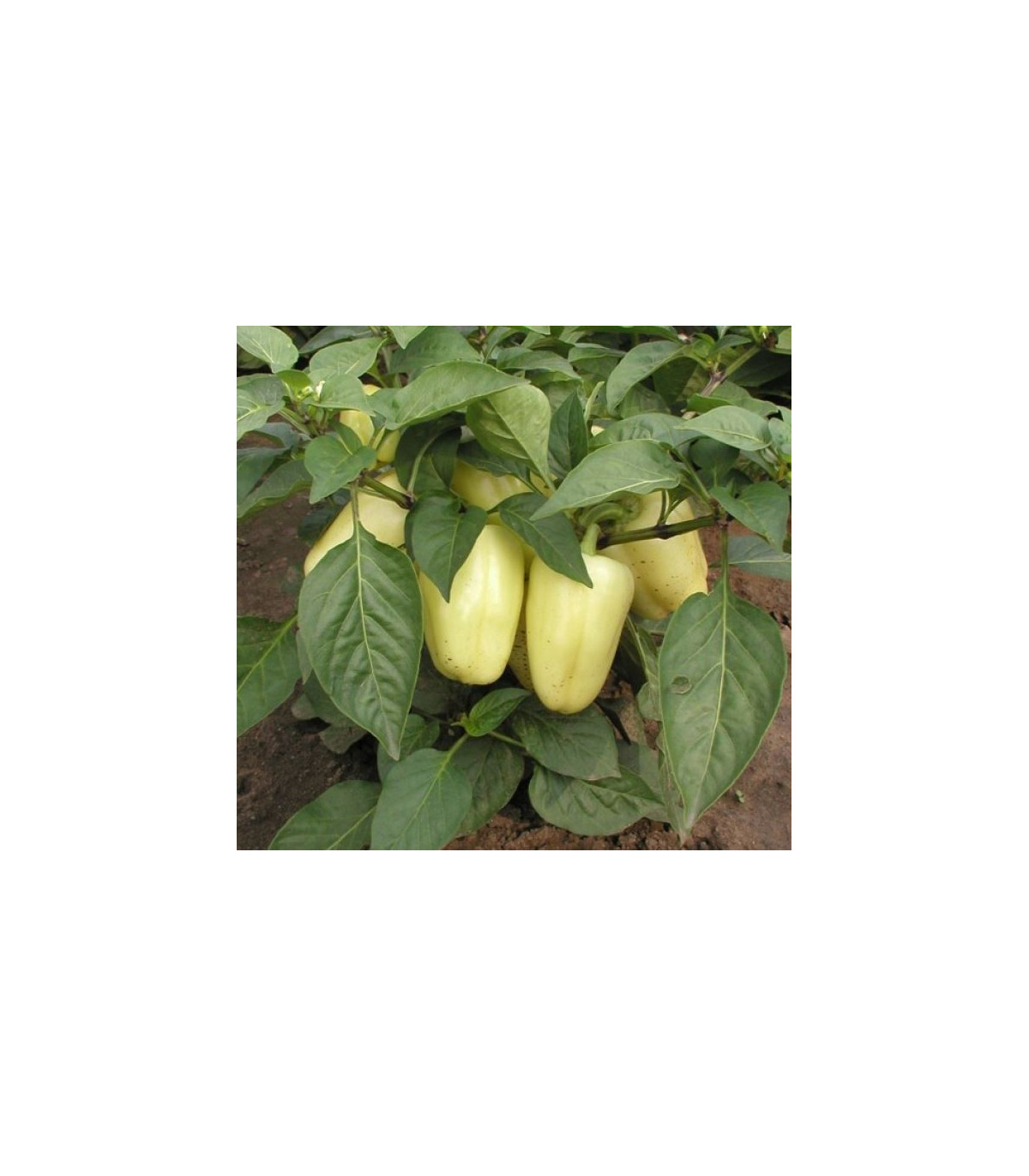 Paprika Amy - Capsicum annuum - semená - 120 ks