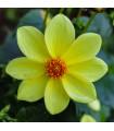 Georgína topmix - žltá - cibule georgíny - cibuľky - 1 ks