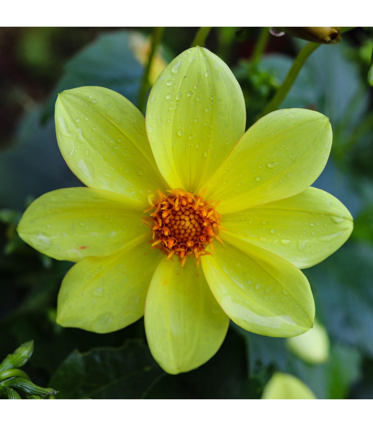 Georgína Topmix žltá - Dahlia - cibuľoviny - 1 ks