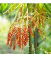 Palma- Ptychosperma- semená- 3 ks