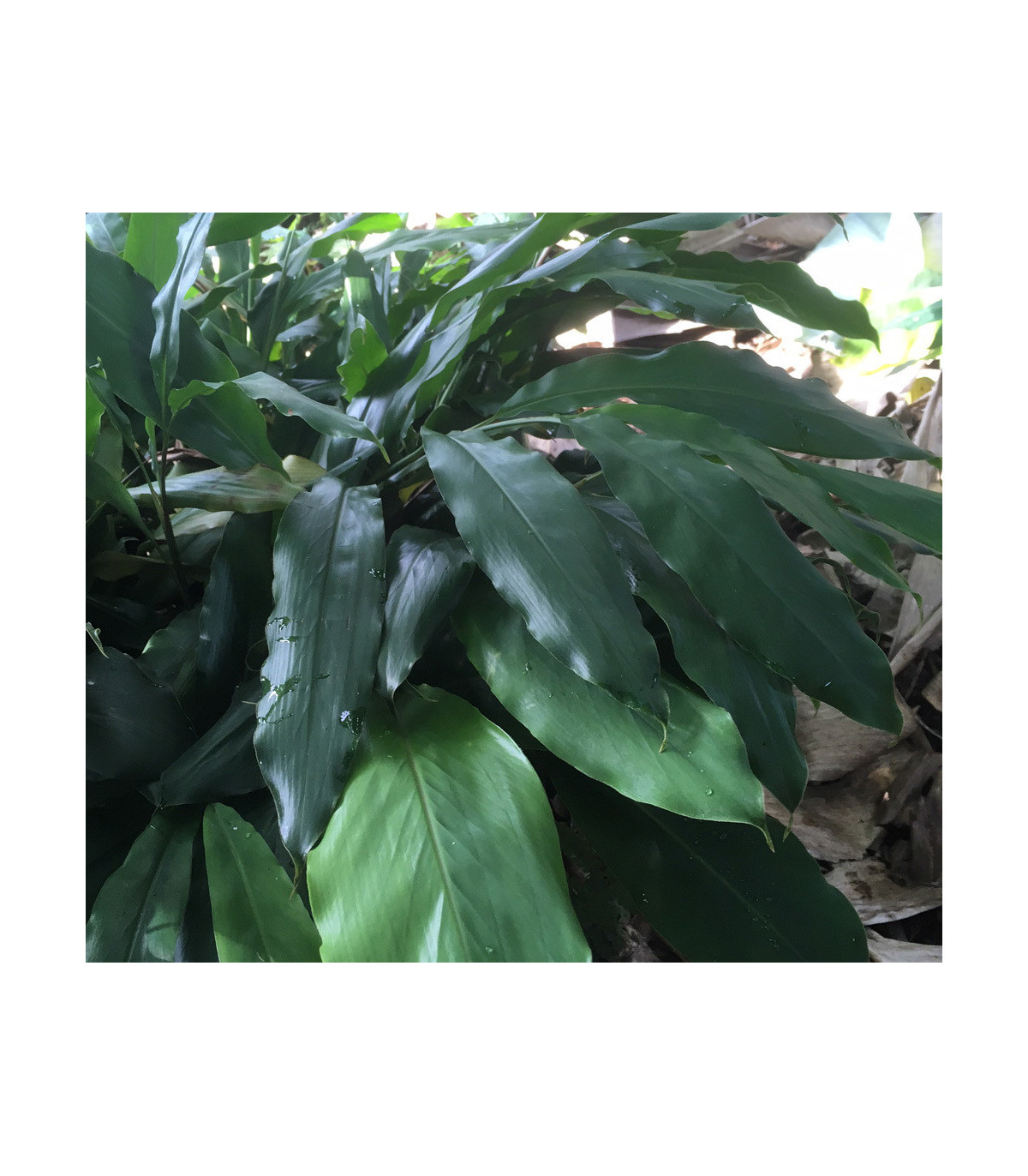 Kardamovník - Elettaria cardamomum - semená kardamónu - 5 ks