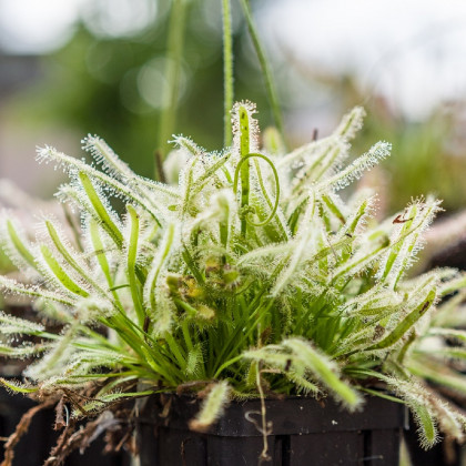 Rosička kapská nízka White flower - Drosera Capensis - semená - 15 ks