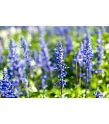 Yzop lekársky modrý - Hyssopus officinalis - semená - 200 ks