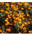 Krókus Orange Monarch - Crocus Chrysanthus - cibuľoviny - 3 ks