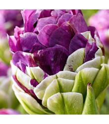 Tulipán Exquisit - Tulipa - cibuľoviny - 3 ks