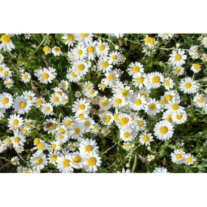 Harmanček- Matricaria recutita- semená 200 ks