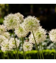 Okrasný cesnak Mont Blanc - Allium - cibuľoviny - 1 ks