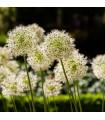 Cesnak Mont Blanc - Allium - cibuľoviny - 1 ks