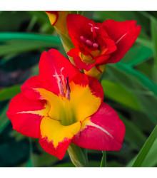 Mečík veľkokvetý - Gladiolus Brescia - gladioly - cibuľoviny - 3 ks