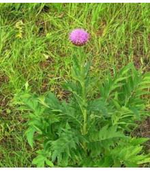 Maralový koreň - Parcha - Leuzea carthamoides - semená - semiačka - 1,5 gr