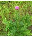 Maralový kořen- Leuzea carthamoides- semená- 60 ks