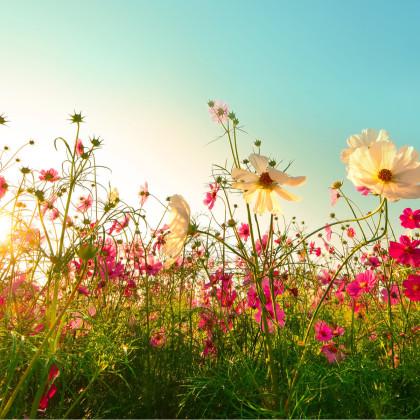 Zmes letničiek Romantická záhrada - semená - 0,9 g