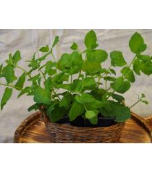 Mäta pieporná - Mentha piperita - semená - 0,2 g