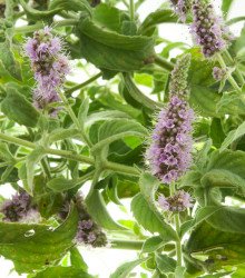 Mäta roľná - Mentha arvensis - semená - 20 ks