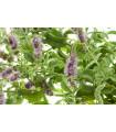 Mäta roľná- Mentha arvensis- semená- 20 ks